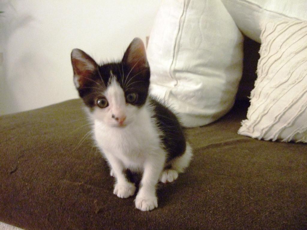 Χαρίζεται η όμορφη Μπέμπα, το θηλυκό ασπρόμαυρο γατάκι που γλύτωσε στο παρά πέντε. Υιοθετήθηκε!!! DSCF2406_zpsc4vlkfyl