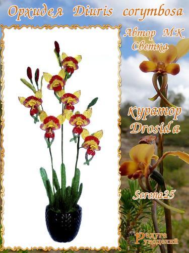 Галерея выпускников Орхидея Diuris corymbosa 66cea360b66130adbe44cffaac0d8964