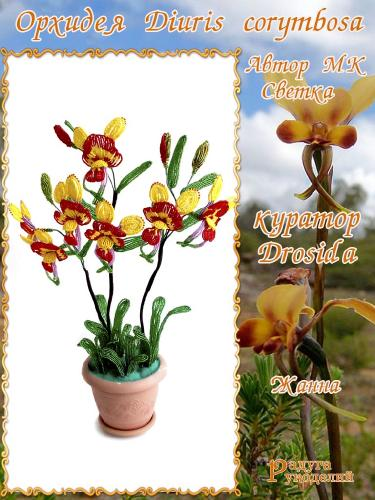 Галерея выпускников Орхидея Diuris corymbosa 4704b276d6bd09af0b2df9d6b47bbad4