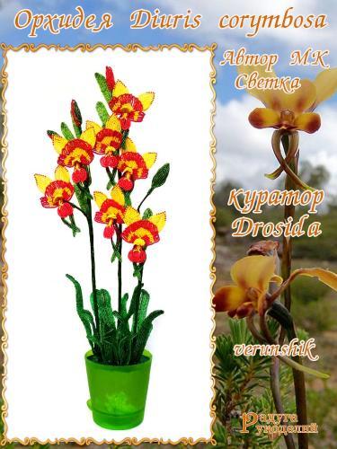Галерея выпускников Орхидея Diuris corymbosa 1af1247a49c872caca3788e42be625d9