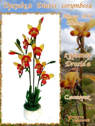 Галерея выпускников Орхидея Diuris corymbosa 7cdd757d605c416f46be91f144383ce7