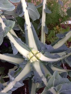 Broccoli growing too fast? - Page 2 8b2efdd2e002eb3507fd1c3ccc22f4f2