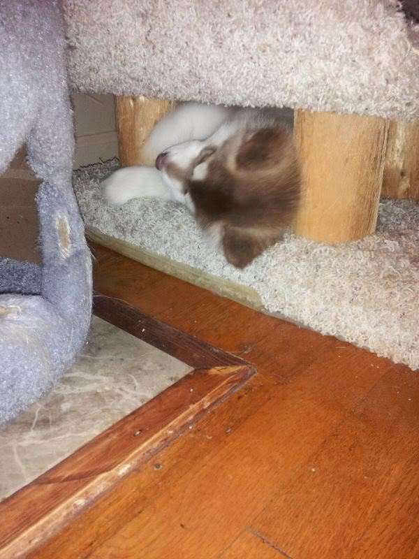 Classic Photos Of Your Huskies - Page 3 Lokicattower