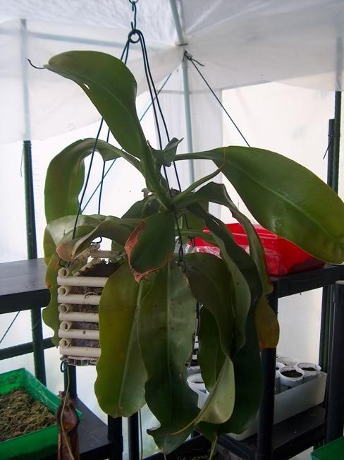 Vaso para Nepenthes HPIM2106