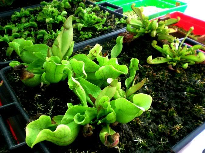 Mais uma sarracenia Plantas_carnivoras15
