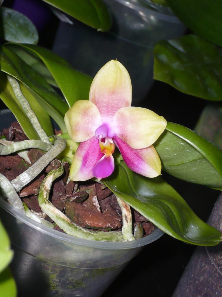 Phalaenopsis - Seite 6 P1060107_zpsfaea3202