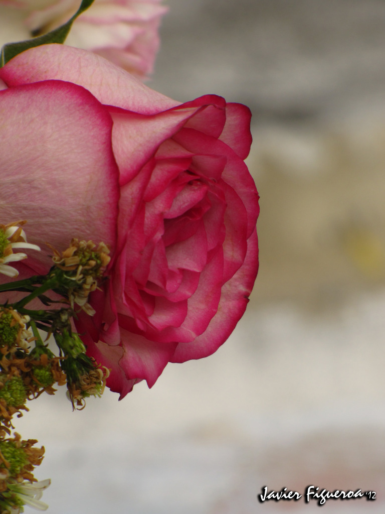 Historia de San Valentín FlorRosaIMG_1153