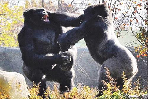 Machismo y violencia de género: Pongamos los puntos sobre las íes Gorilas