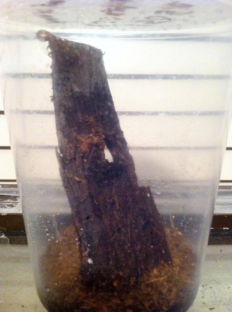 Opinions on New Babycurus jacksoni Enclosure Photo-1_zpsc065ee73