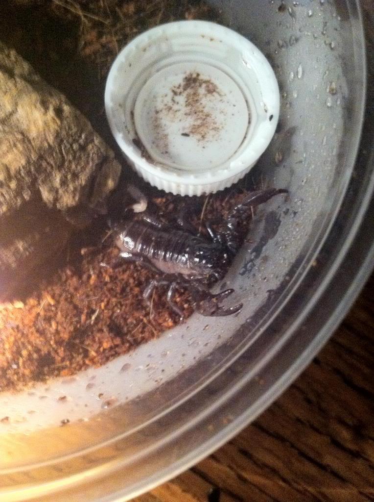 Got a New Pandinus imperator Photo111413PM_zpsfcc13a16