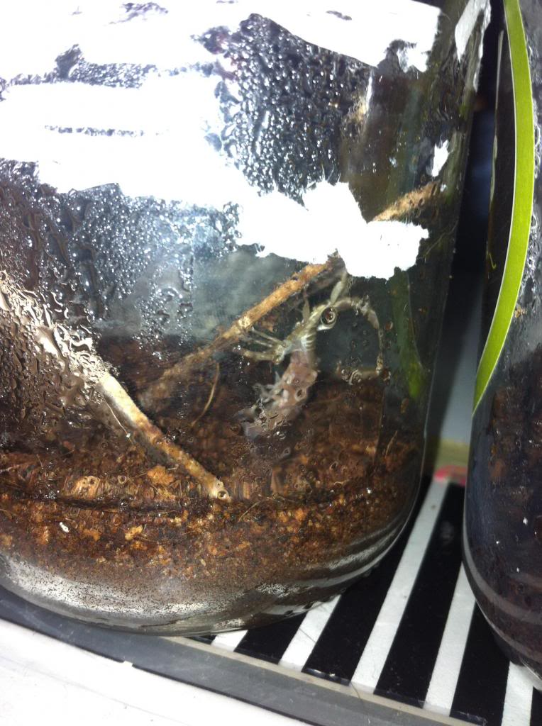 Who molted today? (Scorpion molting pics) - Page 3 Photo1_zps6392db7b