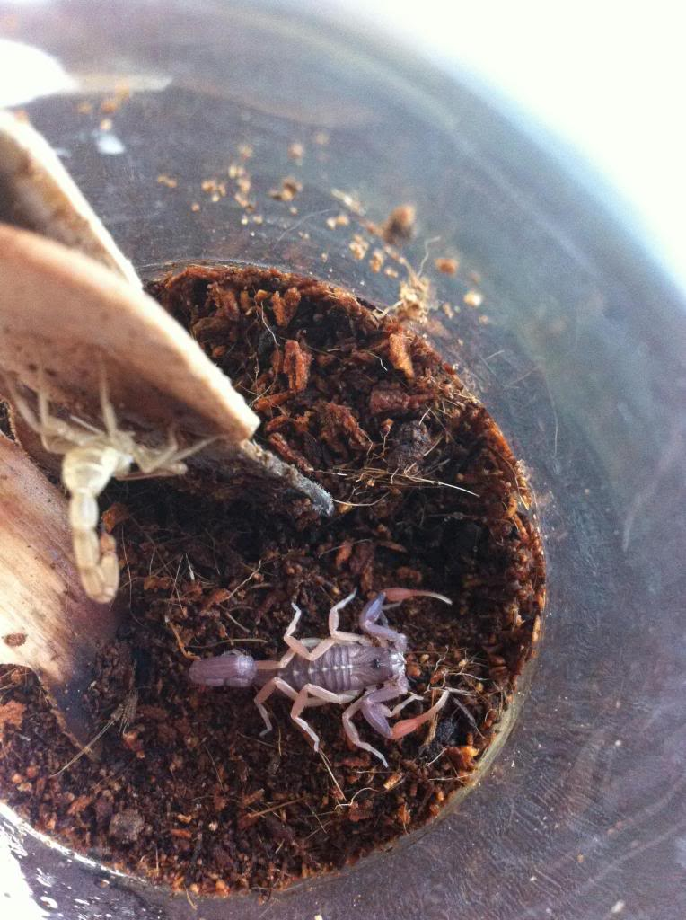 Who molted today? (Scorpion molting pics) - Page 3 Photo2_zps1586099d