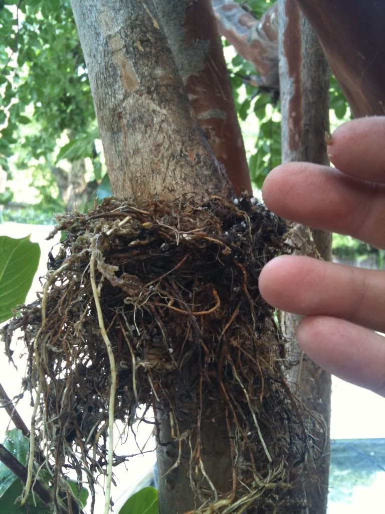 Crepe Myrtle Air Layers Root21