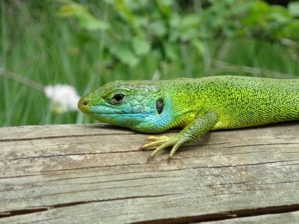 Una de reptiles 9d8695d8-65c7-462f-a1f5-6661dec3f0ae_zpspi0ccxhm