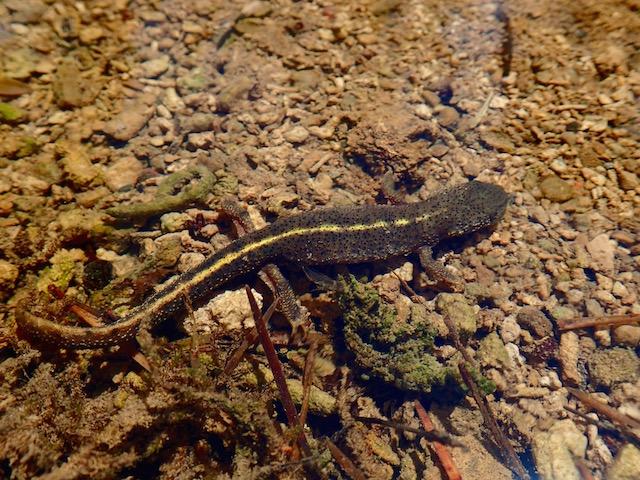 Anfibios de montaña P7182041_zpsyycztww1