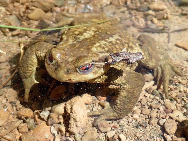Anfibios de montaña P7192171_zpsqsbvgtdu