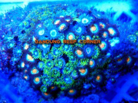 >> Zoanthus (Palythoas & Zoanthids) BRC© << IMG_201502021227_zpsri5yefe5
