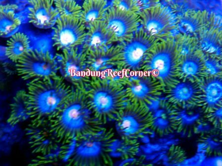 >> Zoanthus (Palythoas & Zoanthids) BRC© << IMG_2015020318743_zps09a3etho