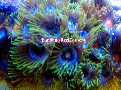 >> Zoanthus (Palythoas & Zoanthids) BRC© << IMG_20150208246_zpscahjvqug