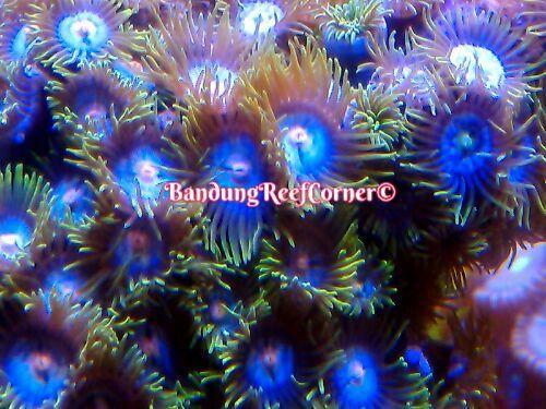>> Zoanthus (Palythoas & Zoanthids) BRC© << IMG_2015020846731_zpszsqdppns