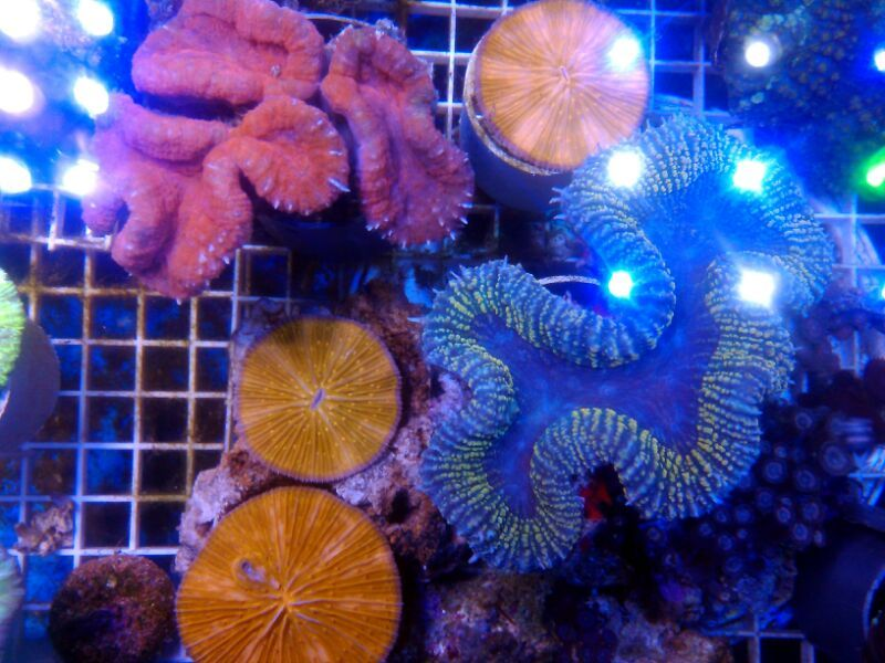 >> LPS Corals BRC© << IMG_201502241377_zpspbxzlo1z