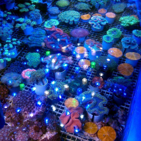 >> LPS Corals BRC© << IMG_2015022420165_zpshdvj0yn8