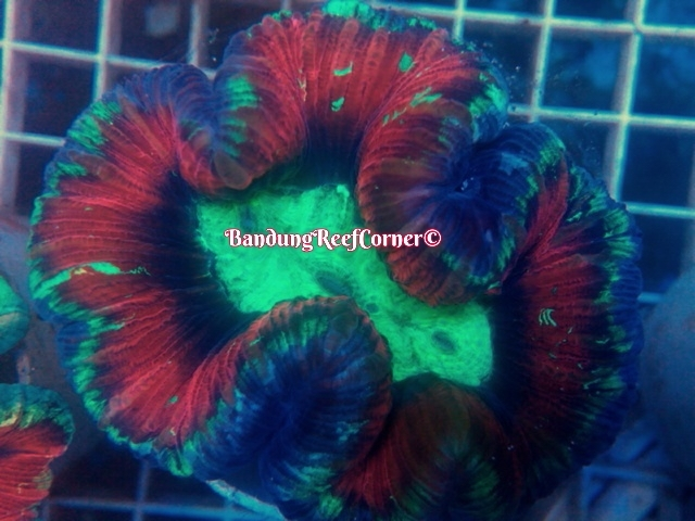 >> LPS Corals BRC© << Image-1426611677345_zpsx2mhloh5