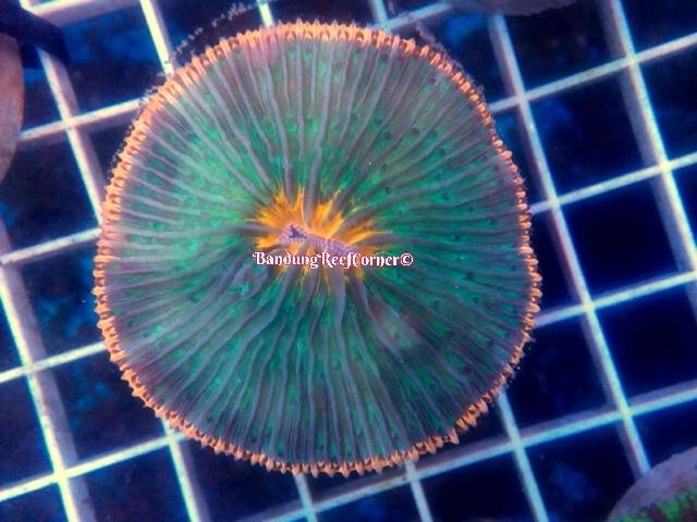 >> LPS Corals BRC© << Image-1426611818498_zpsffqqthne