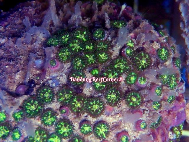 >> Zoanthus (Palythoas & Zoanthids) BRC© << Image-1426611866640_zps49miwukj