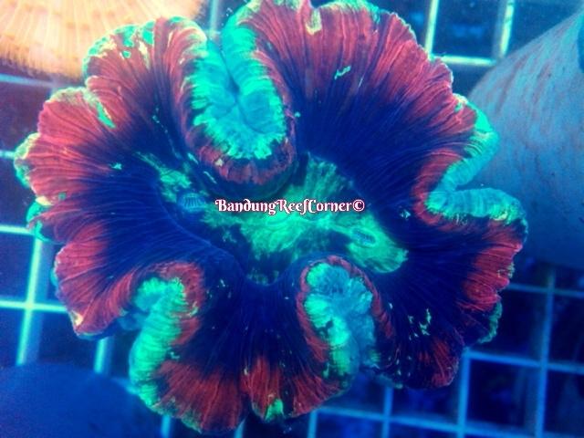 >> LPS Corals BRC© << Image-1426611953572_zpsflo9s0hn