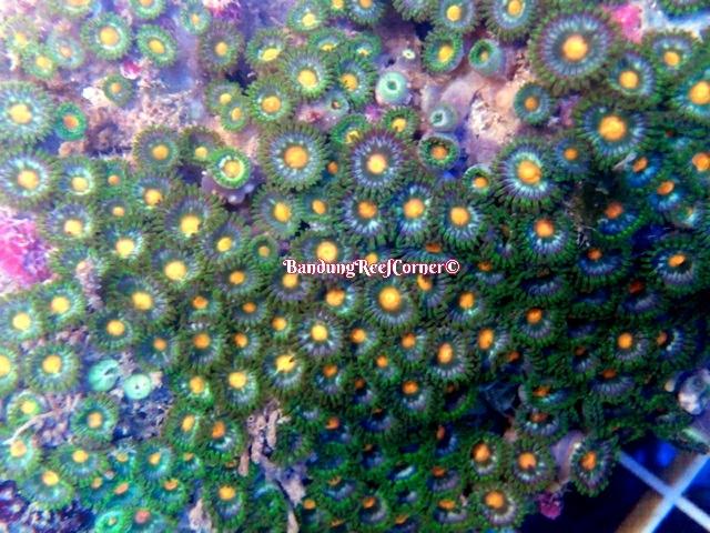 >> Zoanthus (Palythoas & Zoanthids) BRC© << Image-1426611994440_zpskwk2qp5m