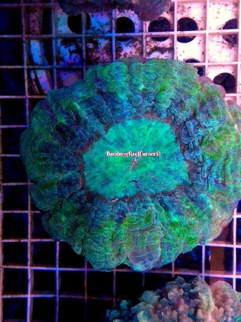 >> LPS Corals BRC© << Image-1426612181383_zpszjlpvhf3
