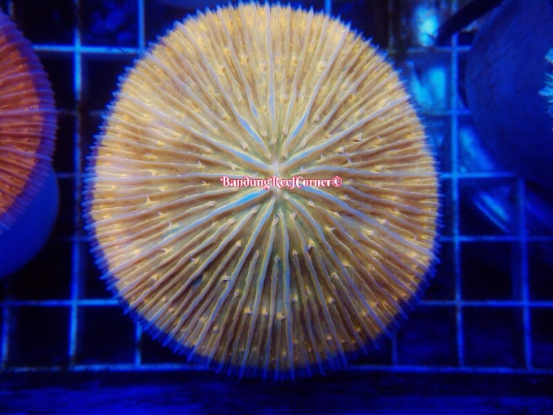 >> LPS Corals BRC© << Image-1426612433719_zps5zobawm6