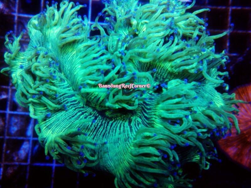 >> LPS Corals BRC© << Image-1426612520991_zpsko5birvp