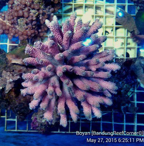 >> SPS Coral BRC© << IMG_20150527_12808_zpswbmivylf