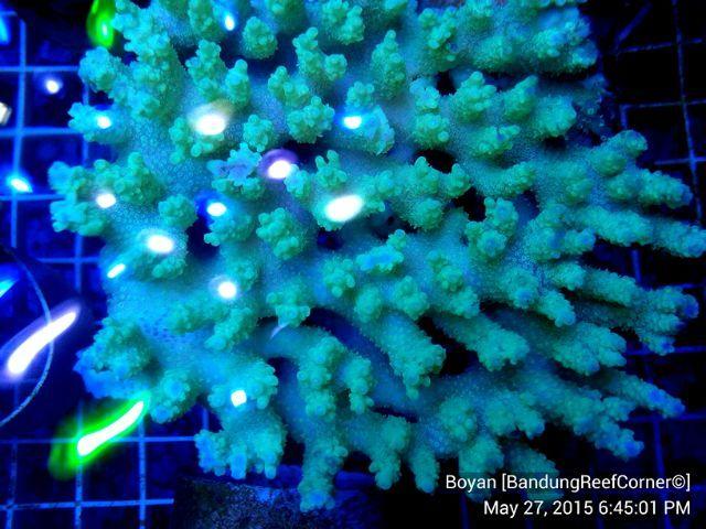 >> SPS Coral BRC© << IMG_20150527_23998_zpshyle0zdd