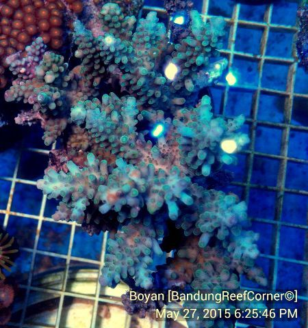>> SPS Coral BRC© << IMG_20150527_31882_zpso7aua8bs