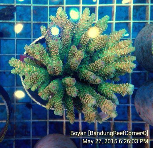 >> SPS Coral BRC© << IMG_20150527_41571_zpsuuqbcceq