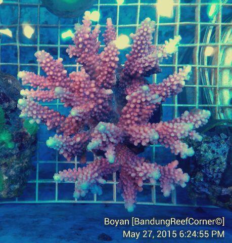 >> SPS Coral BRC© << IMG_20150527_58455_zpsbvdvctio