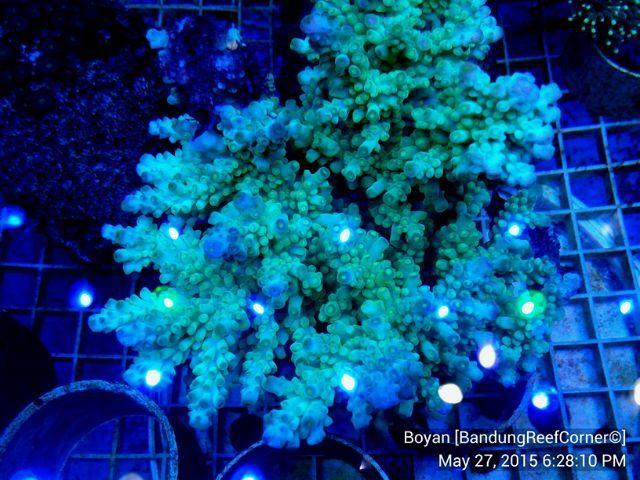 >> SPS Coral BRC© << IMG_20150527_720_zpsyfngsavy
