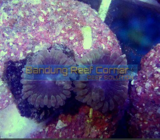 >>Zoanthus Frag<< IMG_20150815_16441_zpspgnubt7w