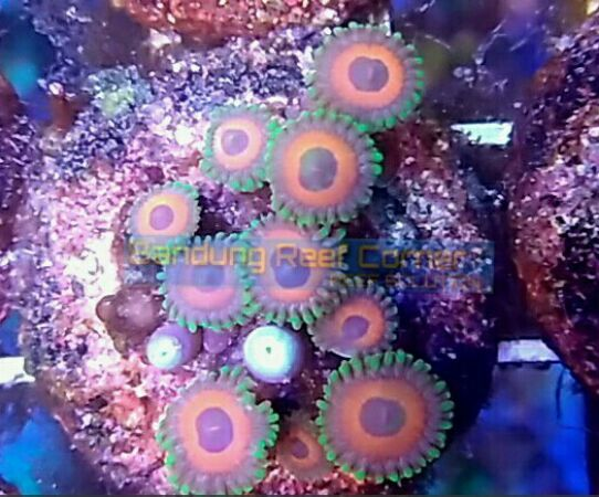 >>Zoanthus Frag<< IMG_20150815_2684_zpsqagdixtc