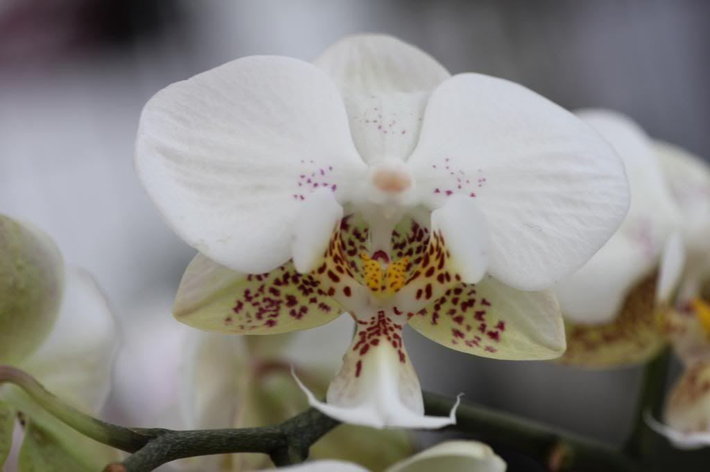 phalaenopsis IMG_8089_zps1926f480