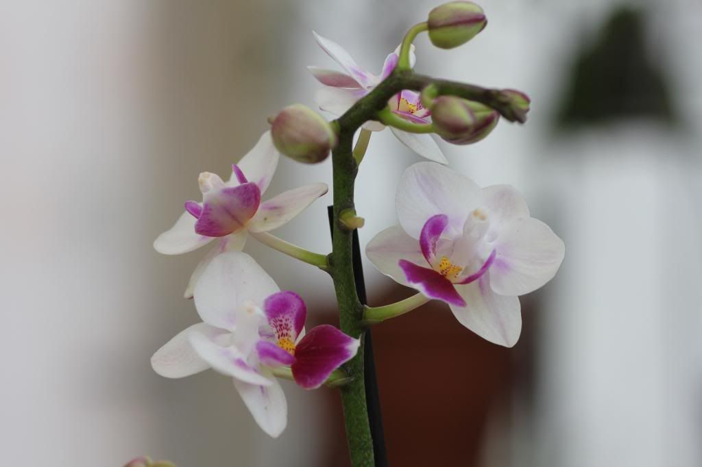 phalaenopsis IMG_8095_zps3f1daf21