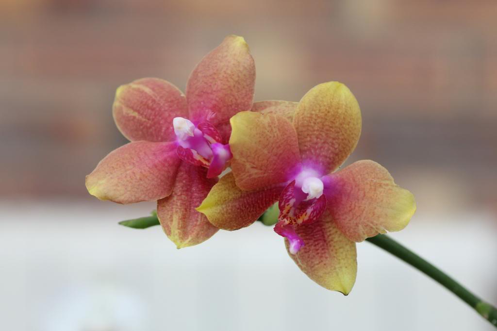 phalaenopsis IMG_8100_zps4c66b0fc