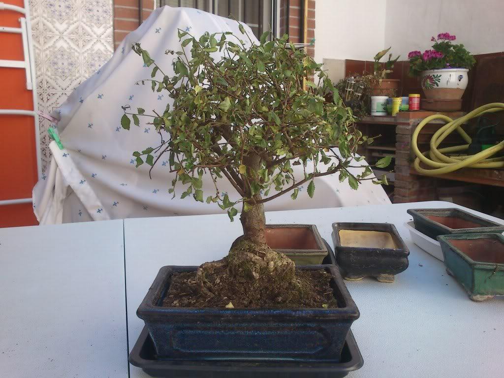 Zelkova parvifolia (perenne), mi primer bonsai :) DSC_2629