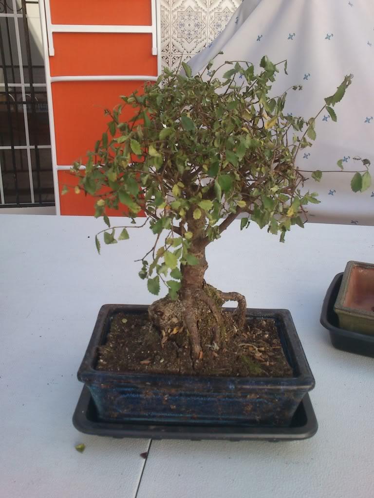 Zelkova parvifolia (perenne), mi primer bonsai :) DSC_2630