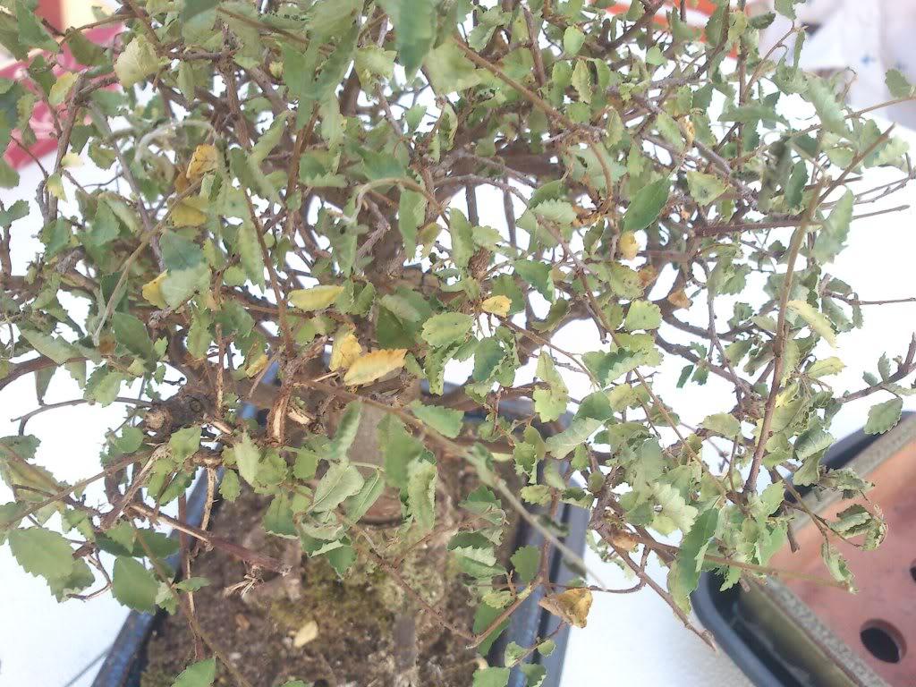 Zelkova parvifolia (perenne), mi primer bonsai :) DSC_2632