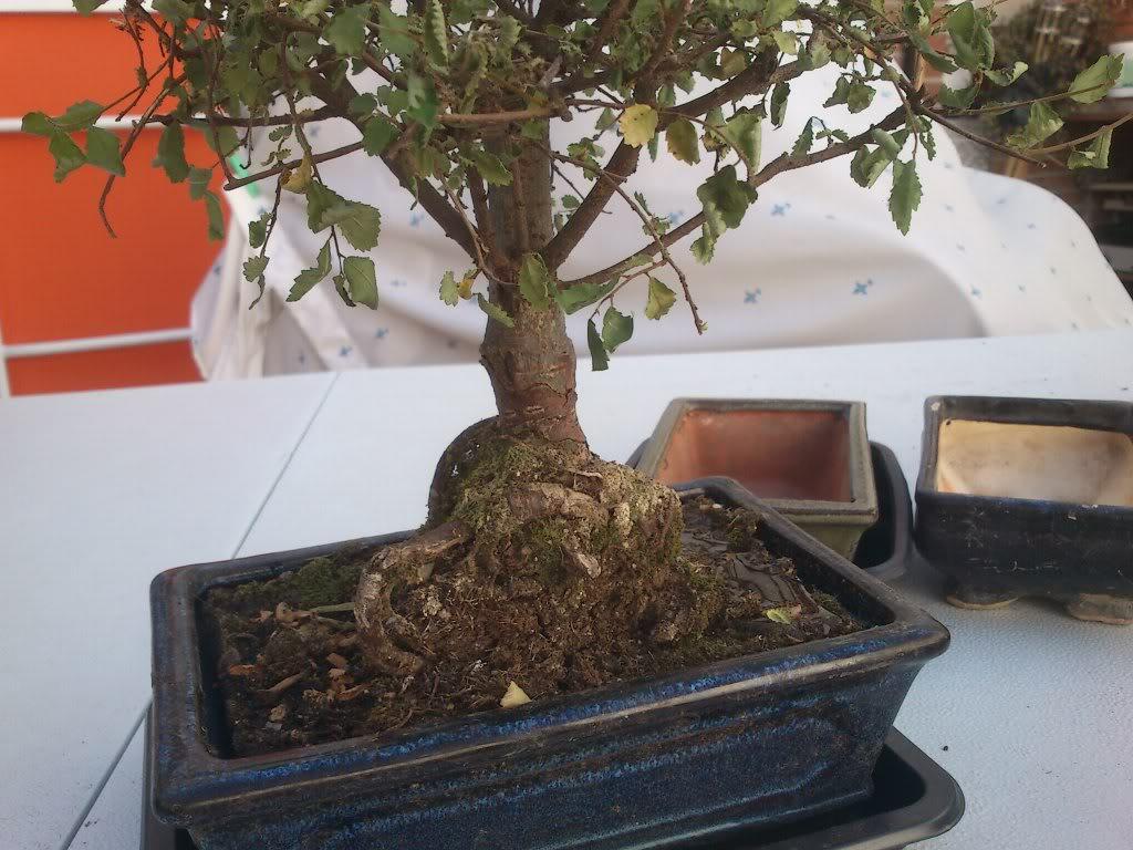 Zelkova parvifolia (perenne), mi primer bonsai :) DSC_2635