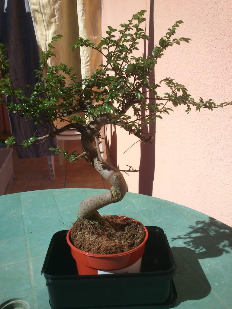 Bobo, mi primer bonsai DSC_2640